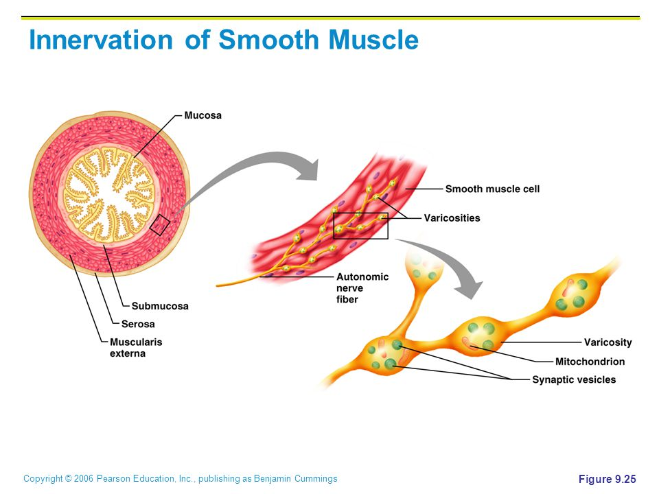 Copyright © 2006 Pearson Education, Inc., publishing as Benjamin Cummings Innervation of Smooth Muscle Figure 9.25