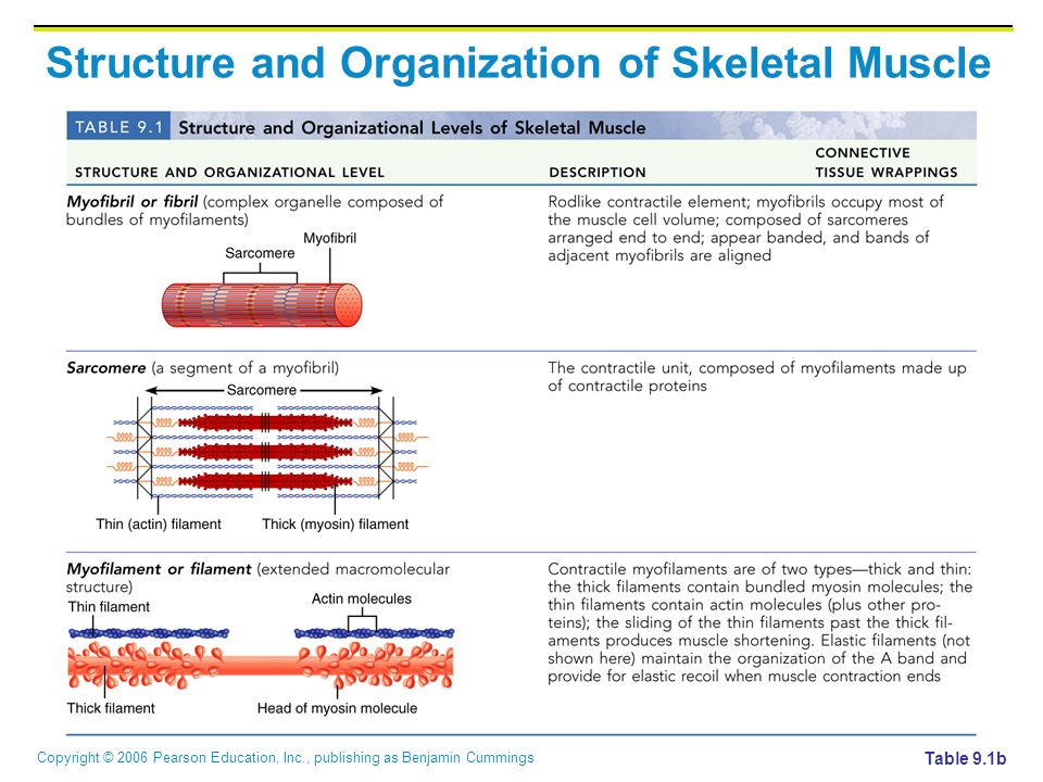 Copyright © 2006 Pearson Education, Inc., publishing as Benjamin Cummings Structure and Organization of Skeletal Muscle Table 9.1b