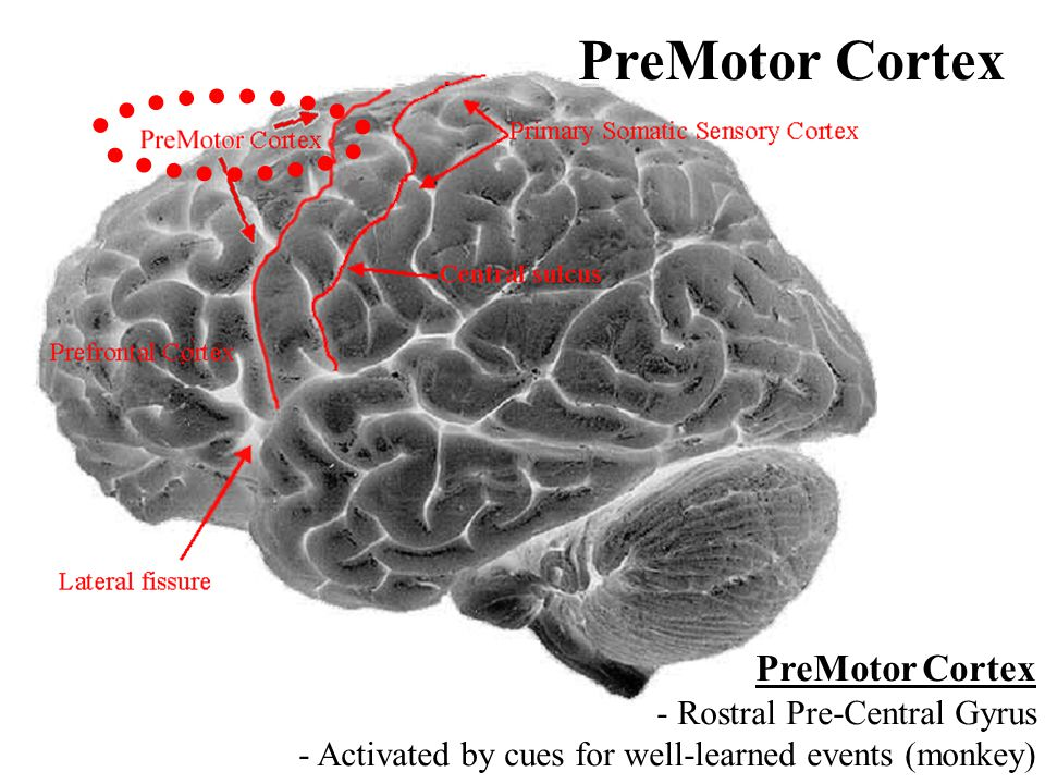 PreMotor Cortex - Rostral Pre-Central Gyrus - Activated by cues for well-learned events (monkey) PreMotor Cortex