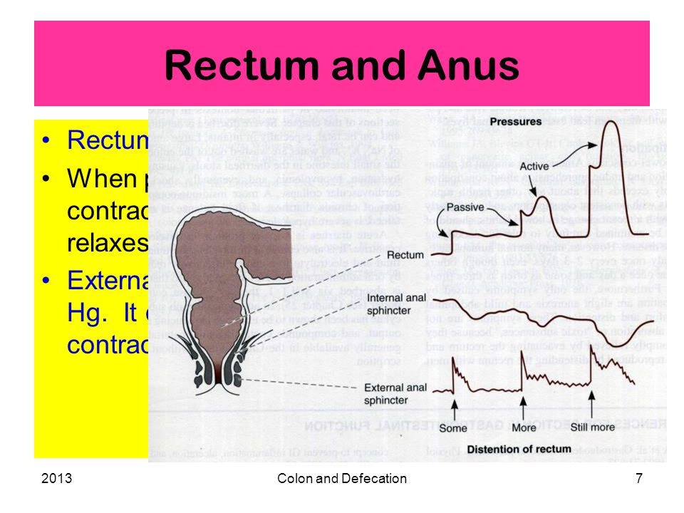 2013Colon and Defecation7 Rectum and Anus Rectum is usually empty. When pressure increases, rectum contracts and internal anal sphincter relaxes. Exte