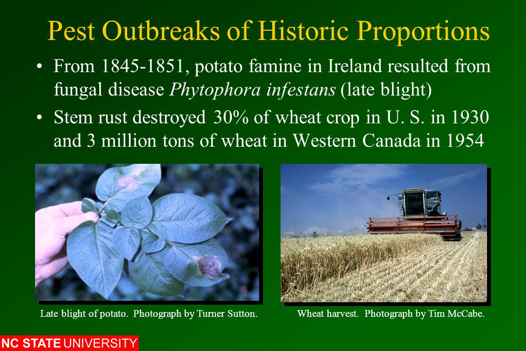 Pest Outbreaks of Historic Proportions From 1845-1851, potato famine in Ireland resulted from fungal disease Phytophora infestans (late blight) Stem rust destroyed 30% of wheat crop in U.