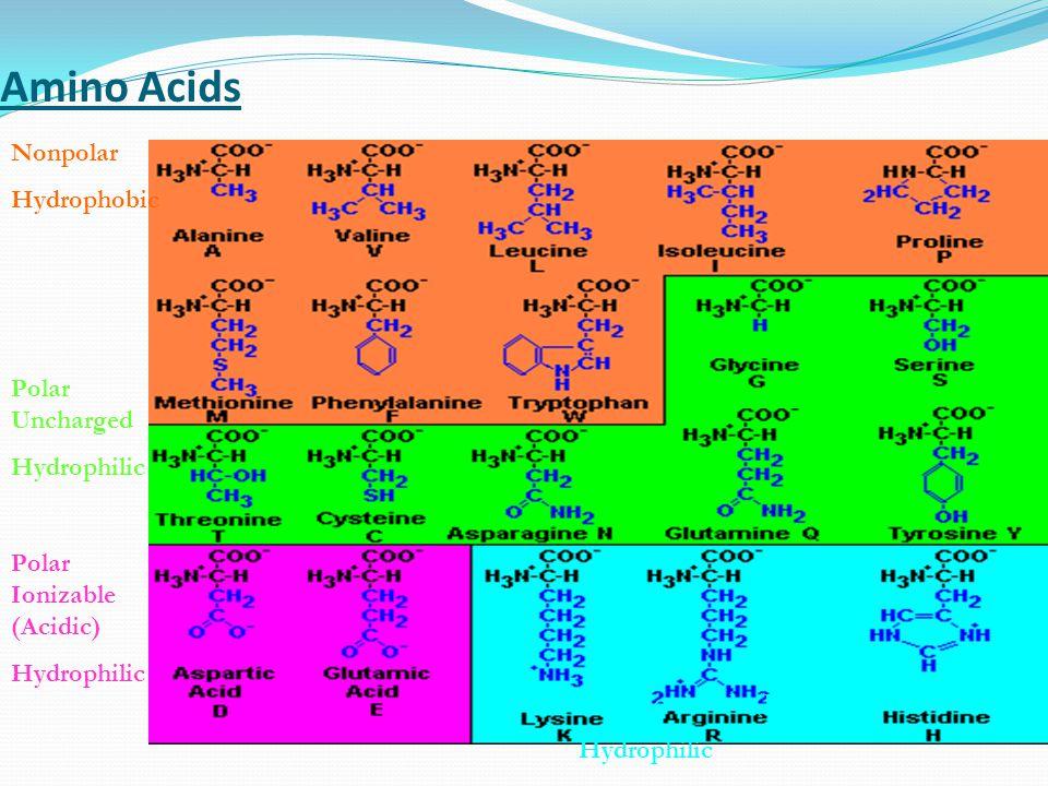 Amino Acids Nonpolar Hydrophobic Polar Ionizable (Acidic) Hydrophilic Polar Uncharged Hydrophilic Polar Ionizable (Basic) Hydrophilic