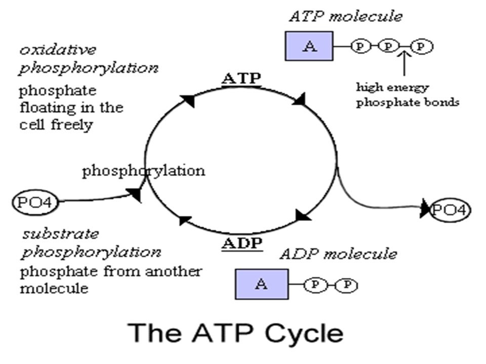 Structure and properties of ATP ATP is a nucleotide.