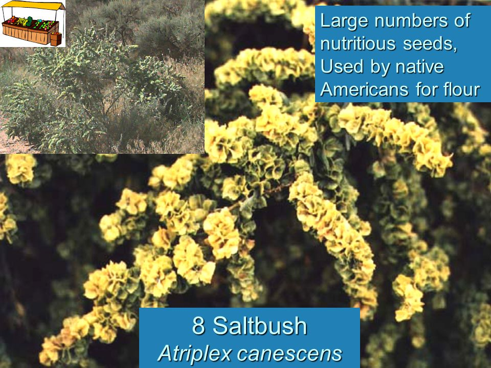 8 Saltbush Atriplex canescens Large numbers of nutritious seeds, Used by native Americans for flour