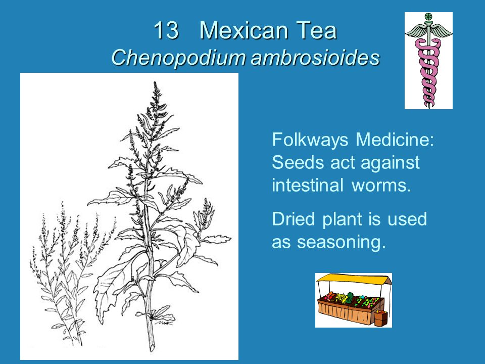 13 Mexican Tea Chenopodium ambrosioides Folkways Medicine: Seeds act against intestinal worms. Dried plant is used as seasoning.