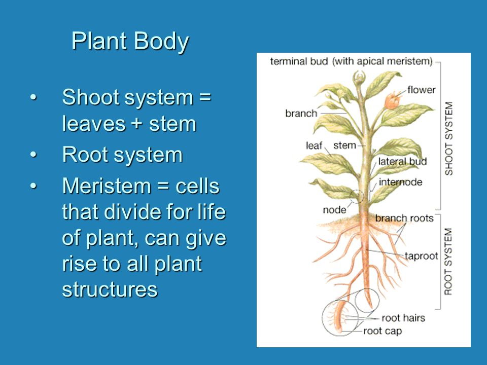 Plant Body ShootShoot system = leaves + stem RootRoot system MeristemMeristem = cells that divide for life of plant, can give rise to all plant struct