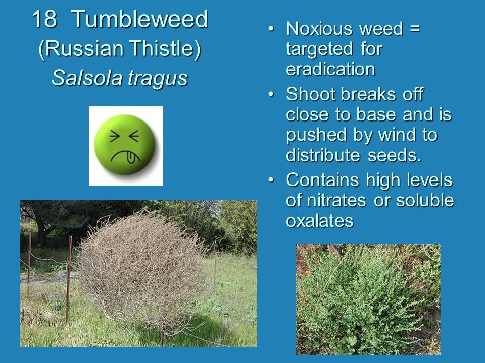 18 Tumbleweed (Russian Thistle) Salsola tragus Noxious weed = targeted for eradication Shoot breaks off close to base and is pushed by wind to distrib