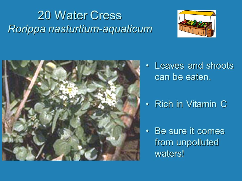 20 Water Cress Rorippa nasturtium-aquaticum Leaves and shoots can be eaten. Rich in Vitamin C Be sure it comes from unpolluted waters!