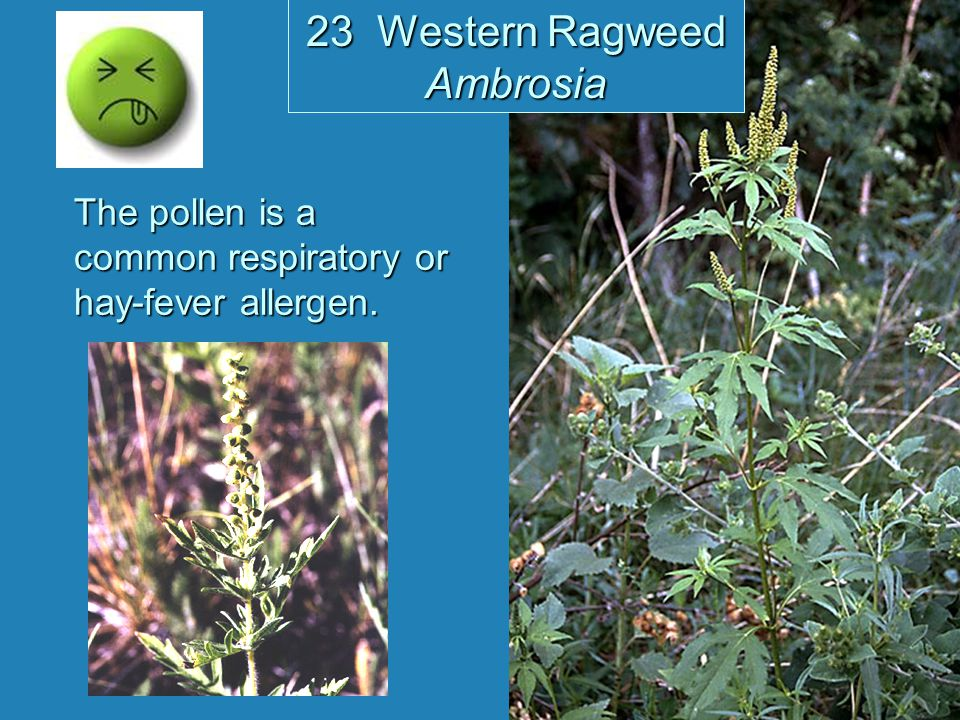 The pollen is a common respiratory or hay-fever allergen. 23 Western Ragweed Ambrosia