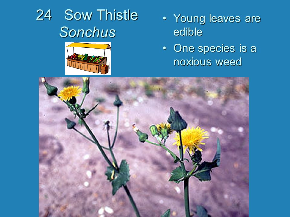 Young leaves are edible One species is a noxious weed 24 Sow Thistle Sonchus