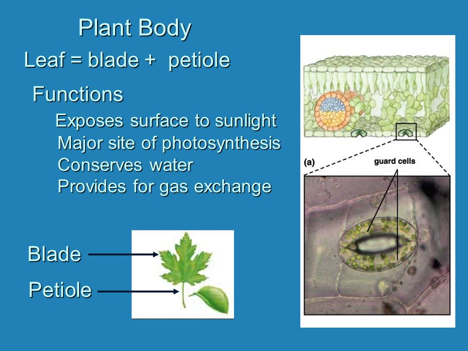 Plant Body Blade PetioleLeaf = blade + petiole Functions Exposes surface to sunlight Major site of photosynthesis Conserves water Provides for gas exc