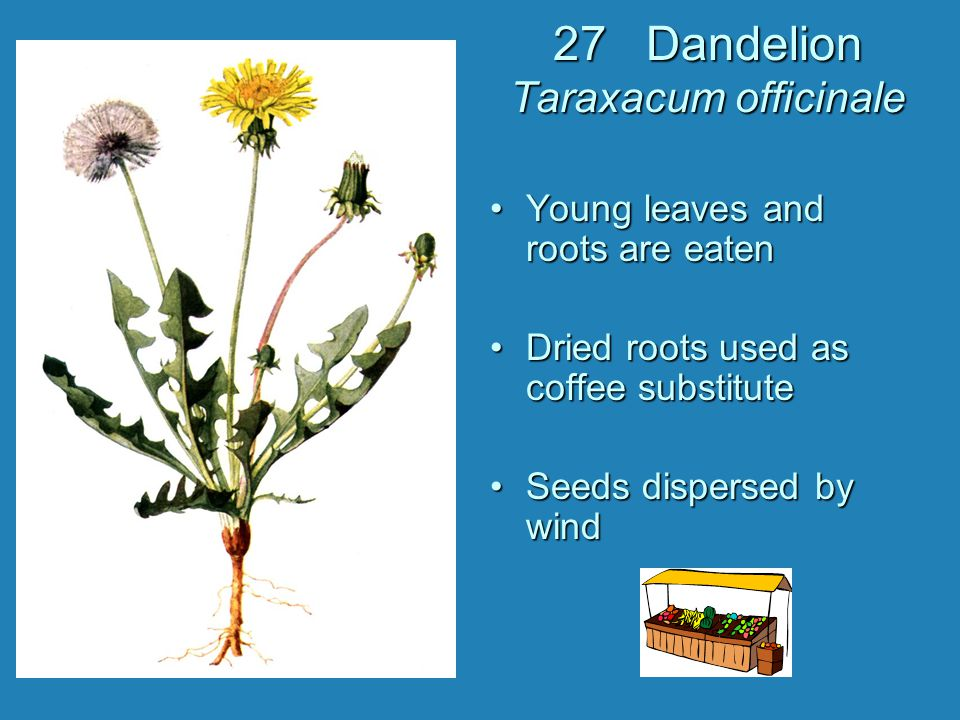 27 Dandelion Taraxacum officinale Young leaves and roots are eaten Dried roots used as coffee substitute Seeds dispersed by wind