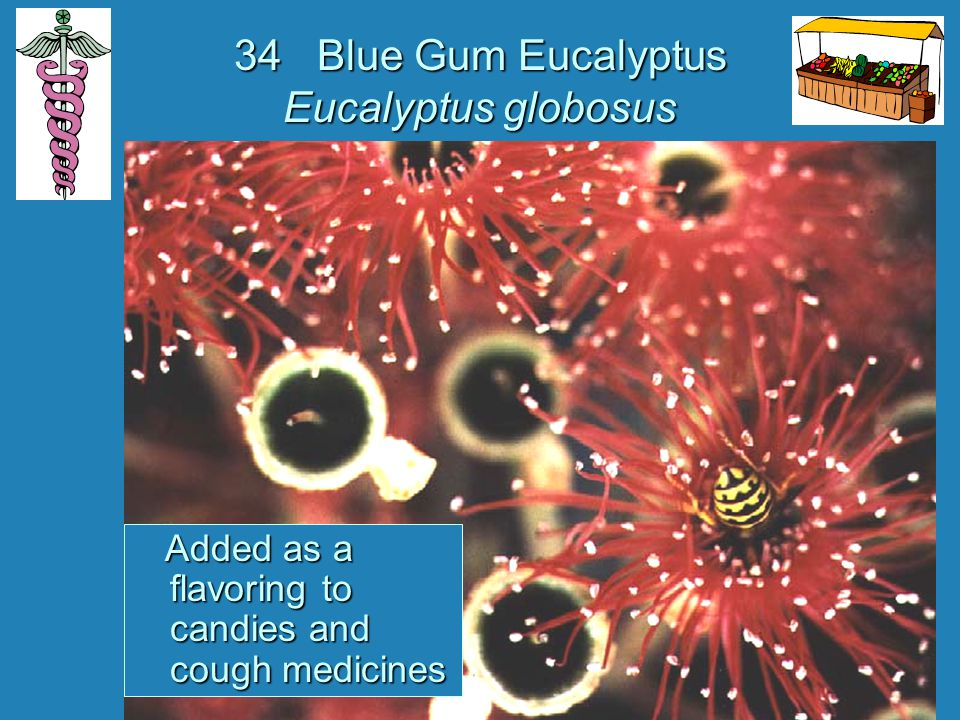 34 Blue Gum Eucalyptus Eucalyptus globosus Added as a flavoring to candies and cough medicines