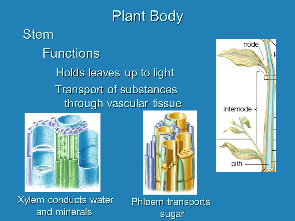 Stem Functions Holds leaves up to light Transport of substances through vascular tissue Xylem conducts water and minerals Phloem transports sugar