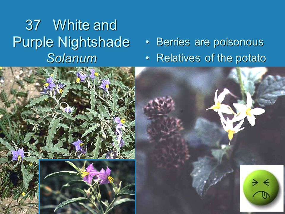 37 White and Purple Nightshade Solanum Berries are poisonous Relatives of the potato