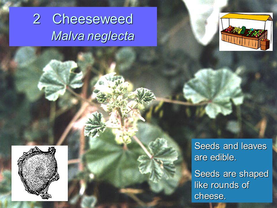 33 Garden Nastursium Tropaeolum majus Leaves are eaten in salads Hallucinogenic properties unproven