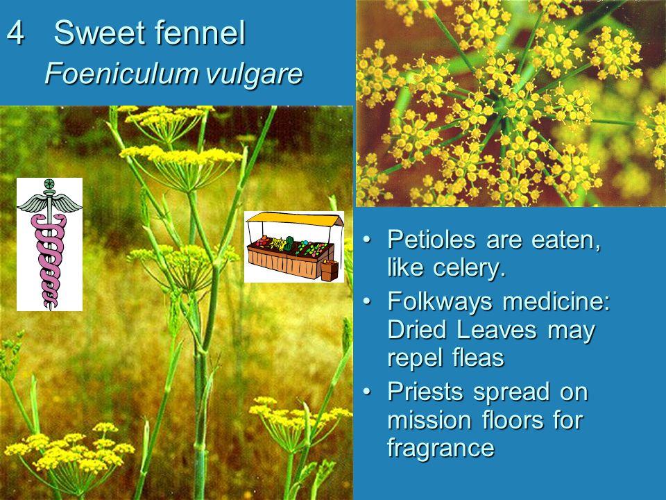 15 California Mugwort Artemisia douglasiana Folkways medicine: Uses for intestinal, respiratory and skin ailments.