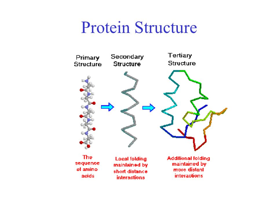 Disulfide Bonds Side chain of cysteine contains highly reactive thiol group Two thiol groups form a disulfide bond Contribute to the stability of the folded state by linking distant parts of the polypeptide chain