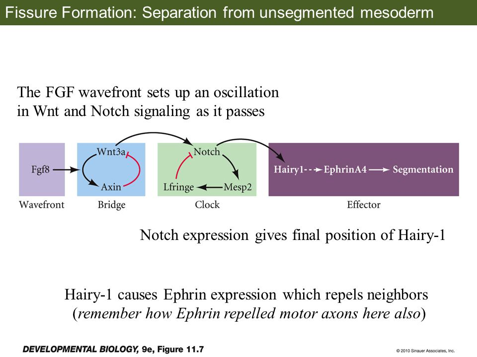 Fissure Formation: Separation from unsegmented mesoderm The FGF wavefront sets up an oscillation in Wnt and Notch signaling as it passes Notch expression gives final position of Hairy-1 Hairy-1 causes Ephrin expression which repels neighbors (remember how Ephrin repelled motor axons here also)