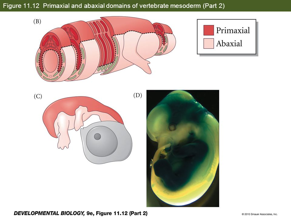 Figure 11.12 Primaxial and abaxial domains of vertebrate mesoderm (Part 2)