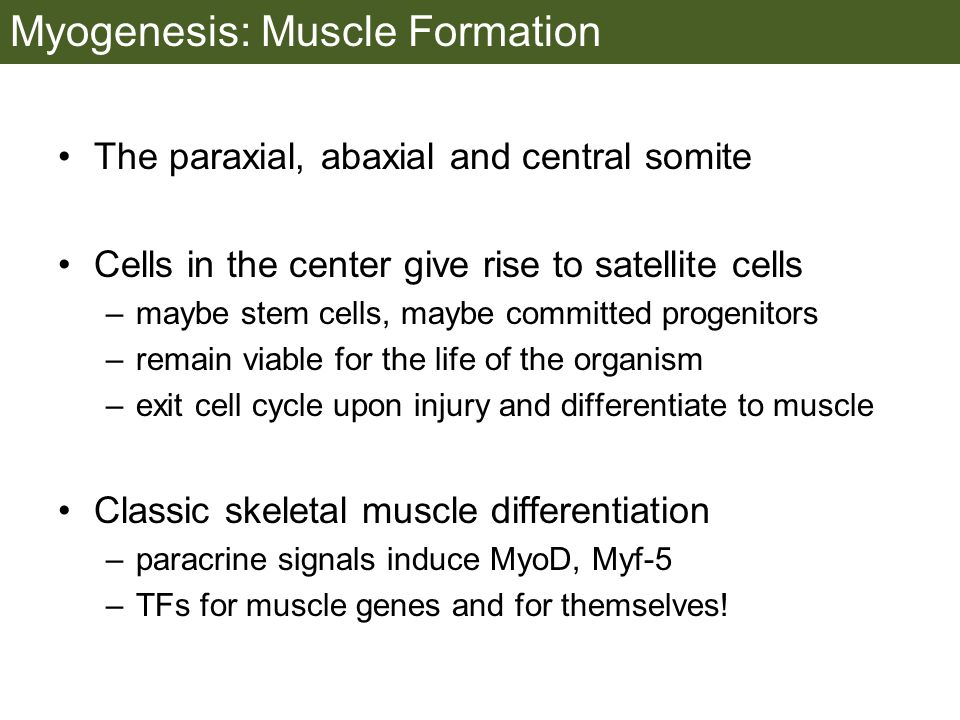 Myogenesis: Muscle Formation The paraxial, abaxial and central somite Cells in the center give rise to satellite cells –maybe stem cells, maybe committed progenitors –remain viable for the life of the organism –exit cell cycle upon injury and differentiate to muscle Classic skeletal muscle differentiation –paracrine signals induce MyoD, Myf-5 –TFs for muscle genes and for themselves!