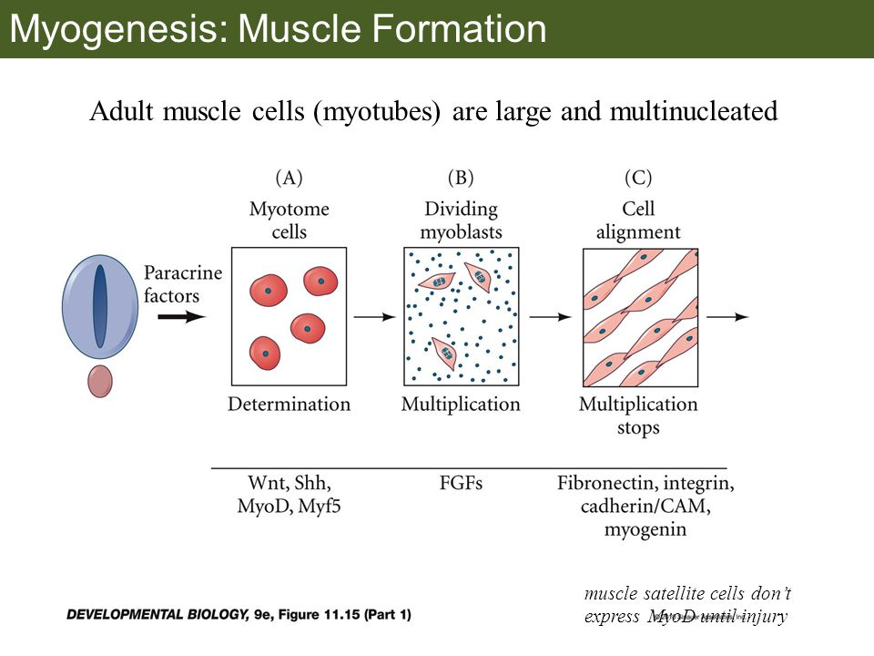 Myogenesis: Muscle Formation muscle satellite cells don't express MyoD until injury Adult muscle cells (myotubes) are large and multinucleated