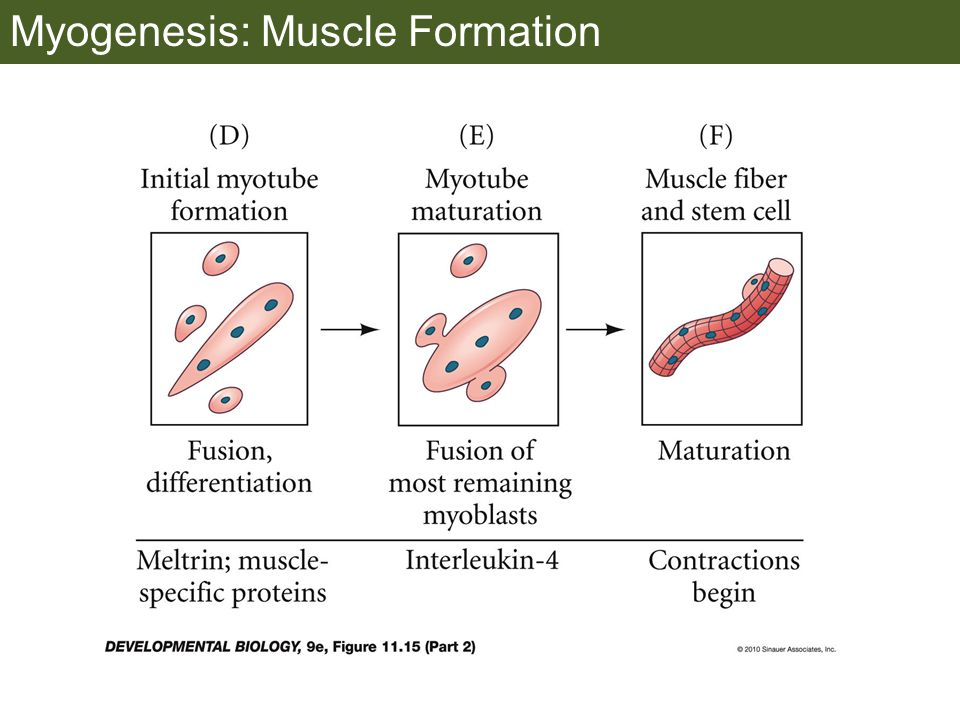 Myogenesis: Muscle Formation