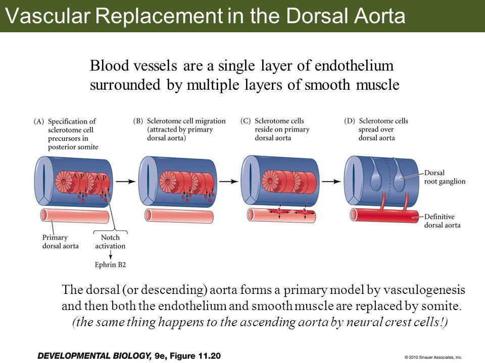 Vascular Replacement in the Dorsal Aorta Blood vessels are a single layer of endothelium surrounded by multiple layers of smooth muscle The dorsal (or descending) aorta forms a primary model by vasculogenesis and then both the endothelium and smooth muscle are replaced by somite.