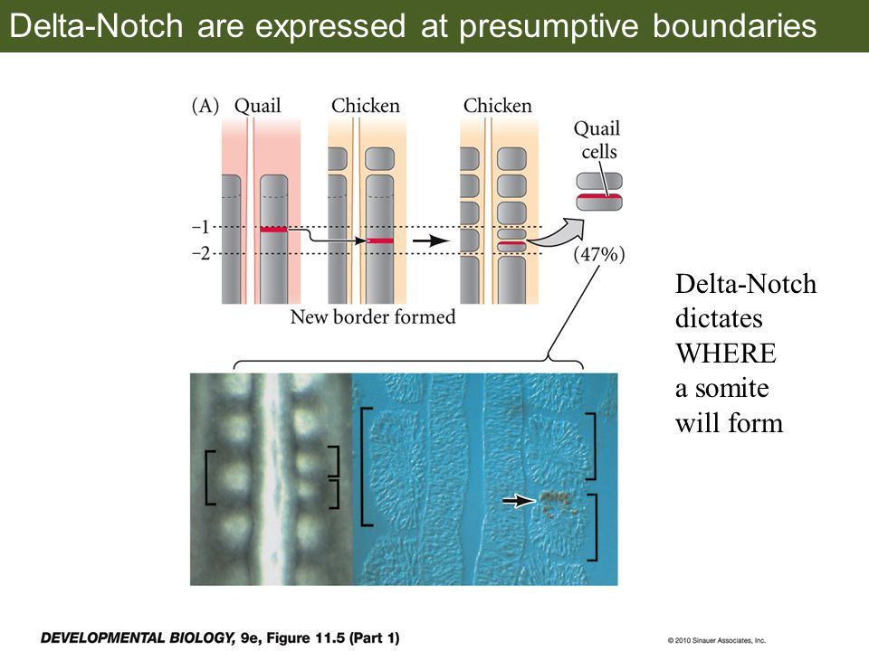 Delta-Notch are expressed at presumptive boundaries Delta-Notch dictates WHERE a somite will form
