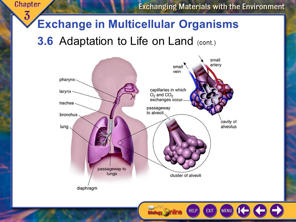 3.6 Adaptation to Life on Land 7 Exchange in Multicellular Organisms 3.6 Adaptation to Life on Land (cont.)