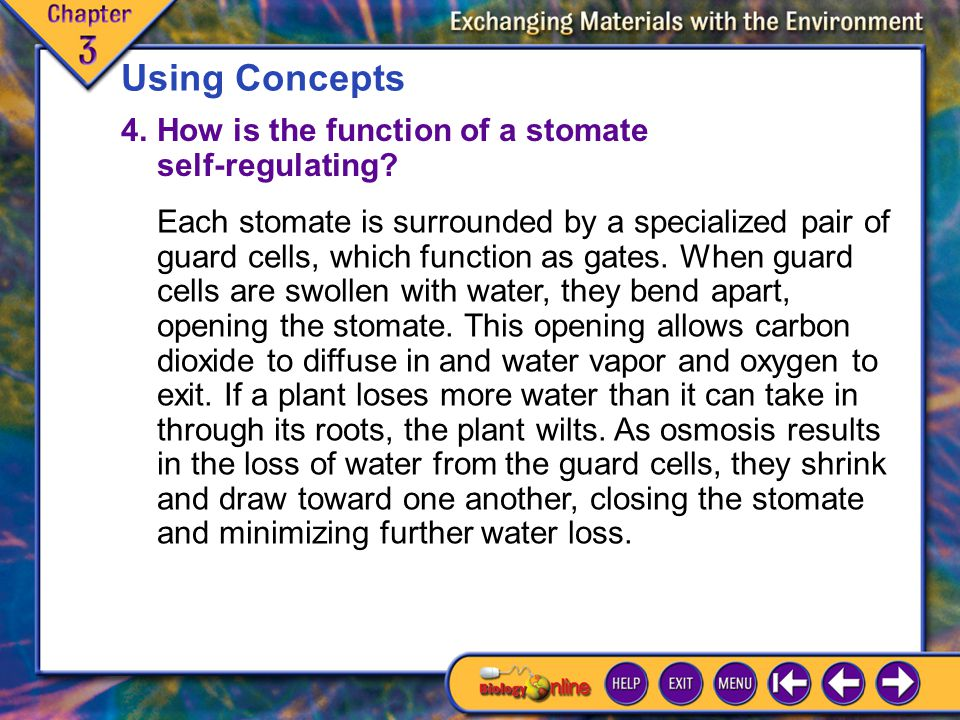 Chapter Highlights 8 Using Concepts 4.How is the function of a stomate self-regulating.