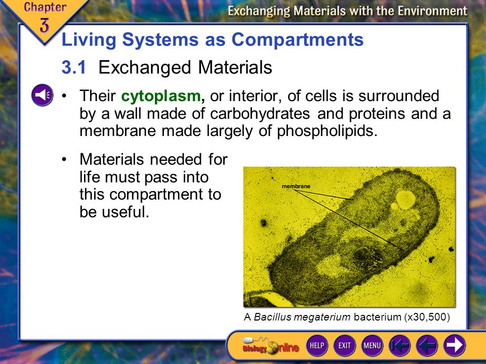 3.1 Exchanged Materials 1 Their cytoplasm, or interior, of cells is surrounded by a wall made of carbohydrates and proteins and a membrane made largely of phospholipids.