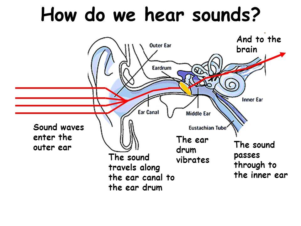 How do we hear sounds.