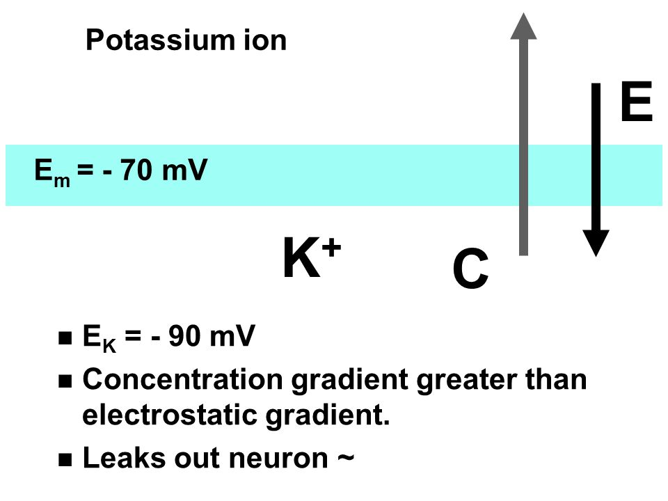 K + C E E m = - 70 mV Potassium ion n E K = - 90 mV n Concentration gradient greater than electrostatic gradient. n Leaks out neuron ~