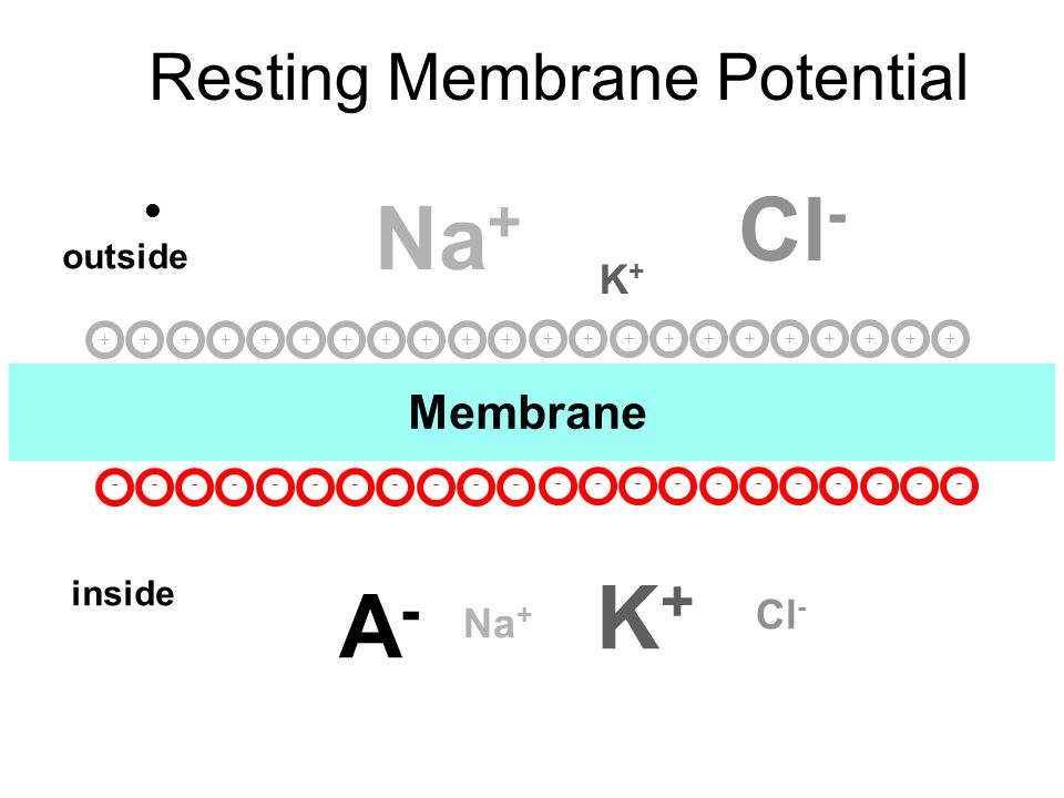 C Organic anions - Membrane impermeable Opposing electrical force not required A-A- E m = -70 mV