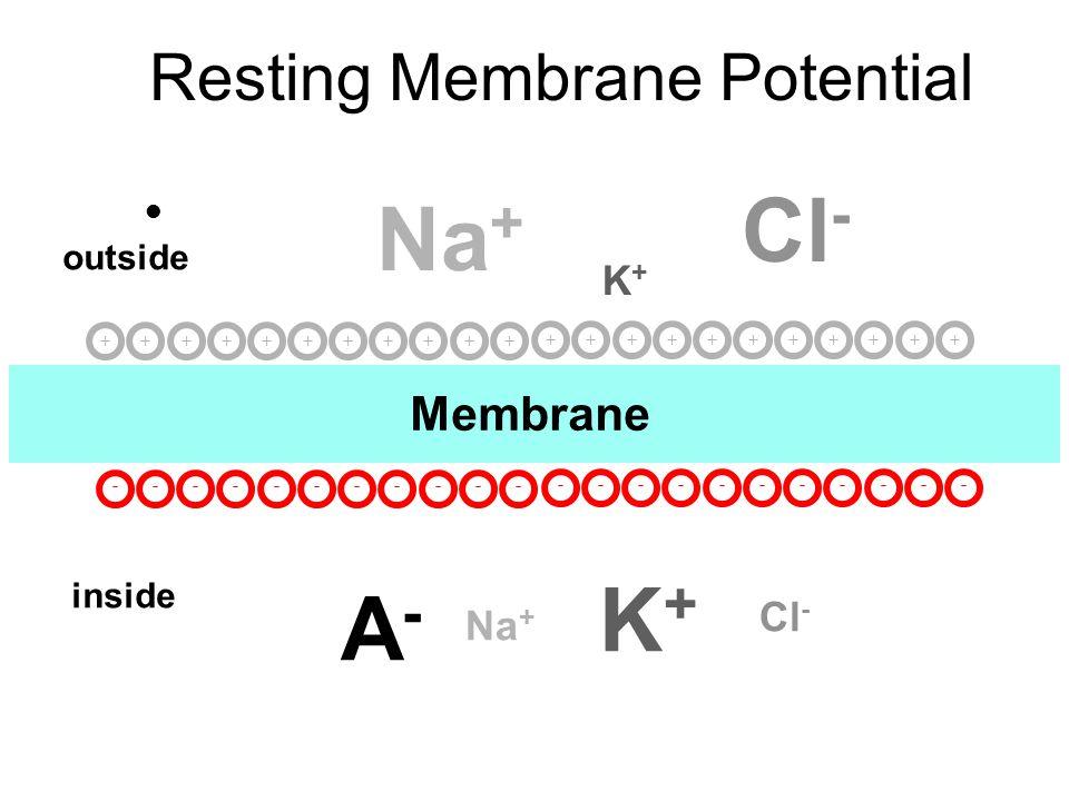 Resting Membrane Potential l Membrane outside inside Na + Cl - K+K+ K+K+ A-A- +++++++++++ ----------- +++++++++++ -----------