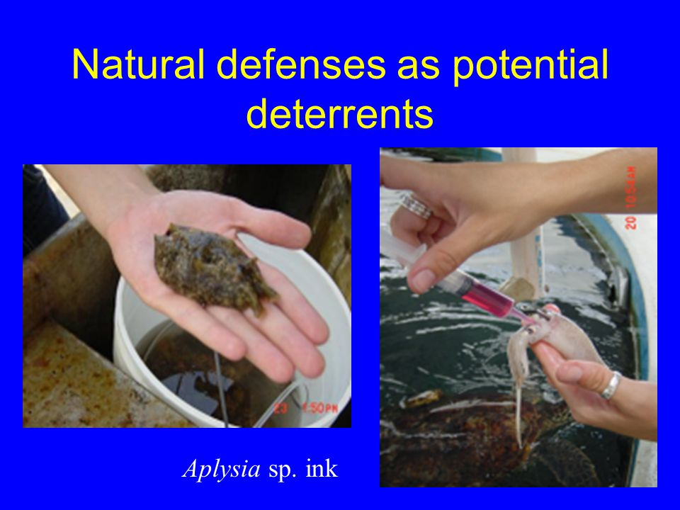 Natural defenses as potential deterrents Aplysia sp. ink