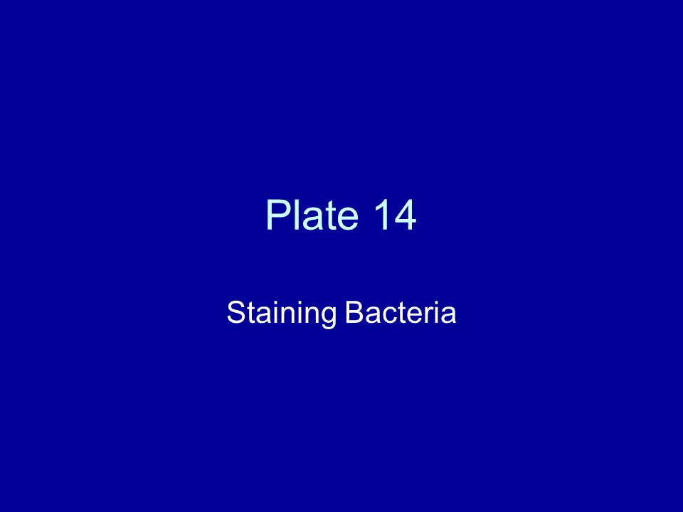 Plate 14 Staining Bacteria
