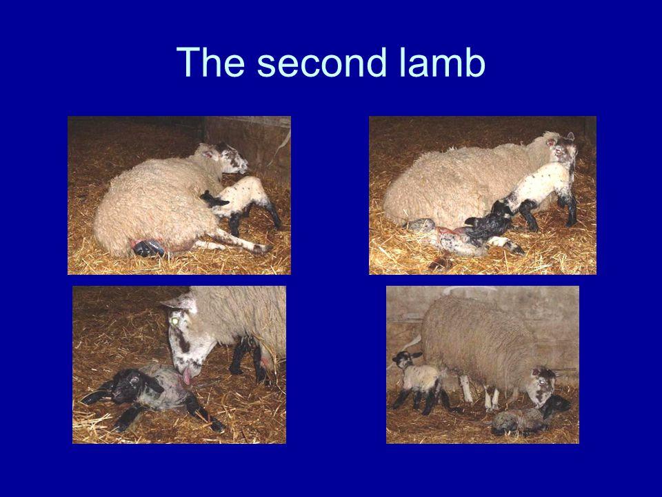 The second lamb