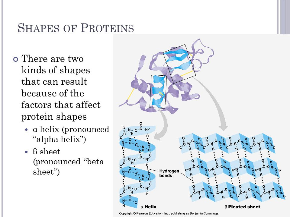 S HAPES OF P ROTEINS There are two kinds of shapes that can result because of the factors that affect protein shapes α helix (pronounced alpha helix ) β sheet (pronounced beta sheet )