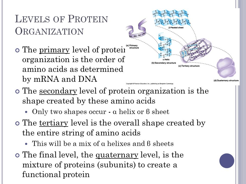 L EVELS OF P ROTEIN O RGANIZATION The primary level of protein organization is the order of amino acids as determined by mRNA and DNA The secondary level of protein organization is the shape created by these amino acids Only two shapes occur - α helix or β sheet The tertiary level is the overall shape created by the entire string of amino acids This will be a mix of α helixes and β sheets The final level, the quaternary level, is the mixture of proteins (subunits) to create a functional protein