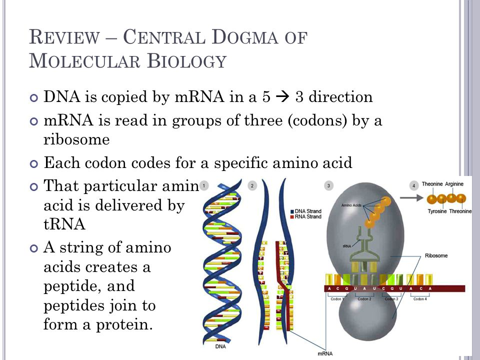 R EVIEW – C ENTRAL D OGMA OF M OLECULAR B IOLOGY DNA is copied by mRNA in a 5  3 direction mRNA is read in groups of three (codons) by a ribosome Each codon codes for a specific amino acid That particular amino acid is delivered by tRNA A string of amino acids creates a peptide, and peptides join to form a protein.