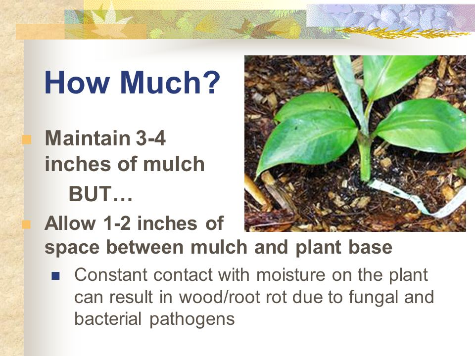 How Much? Maintain 3-4 inches of mulch BUT… Allow 1-2 inches of space between mulch and plant base Constant contact with moisture on the plant can res