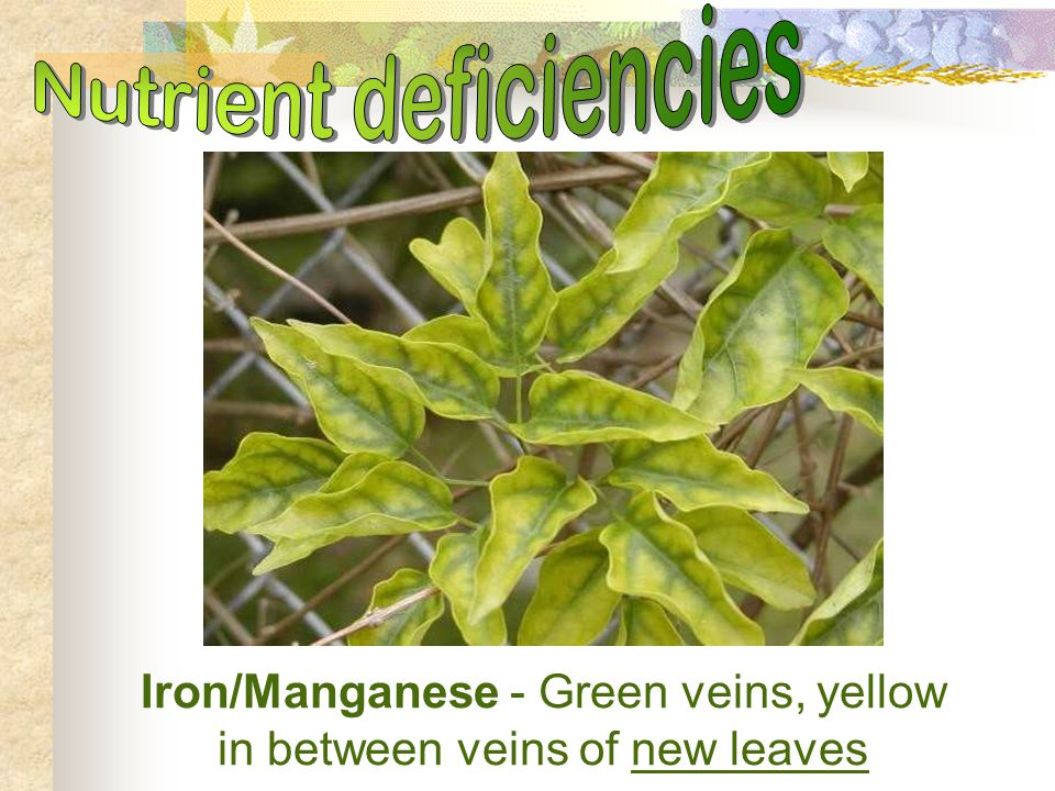 Iron/Manganese - Green veins, yellow in between veins of new leaves