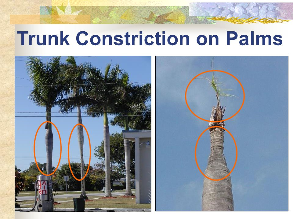 Trunk Constriction on Palms