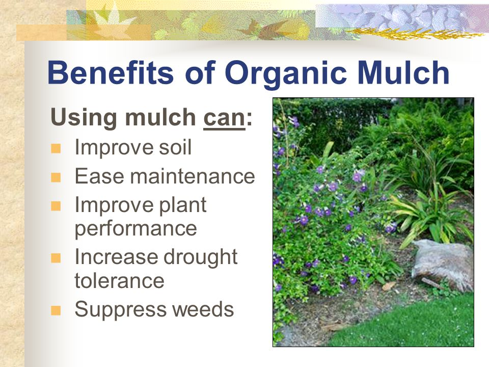 Melaleuca Mulch Harvested from invasive plant stands (YAY!) Retains color Slow decomposition Not attractive to termites Allelopathic properties