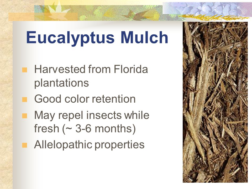 Eucalyptus Mulch Harvested from Florida plantations Good color retention May repel insects while fresh (~ 3-6 months) Allelopathic properties