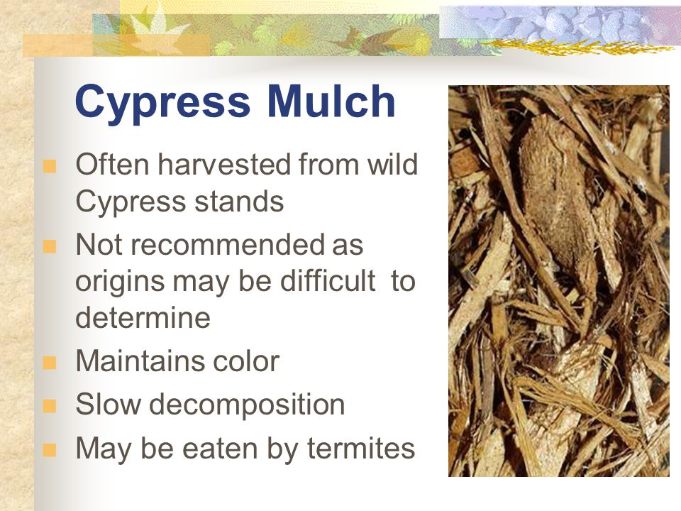 Cypress Mulch Often harvested from wild Cypress stands Not recommended as origins may be difficult to determine Maintains color Slow decomposition May be eaten by termites