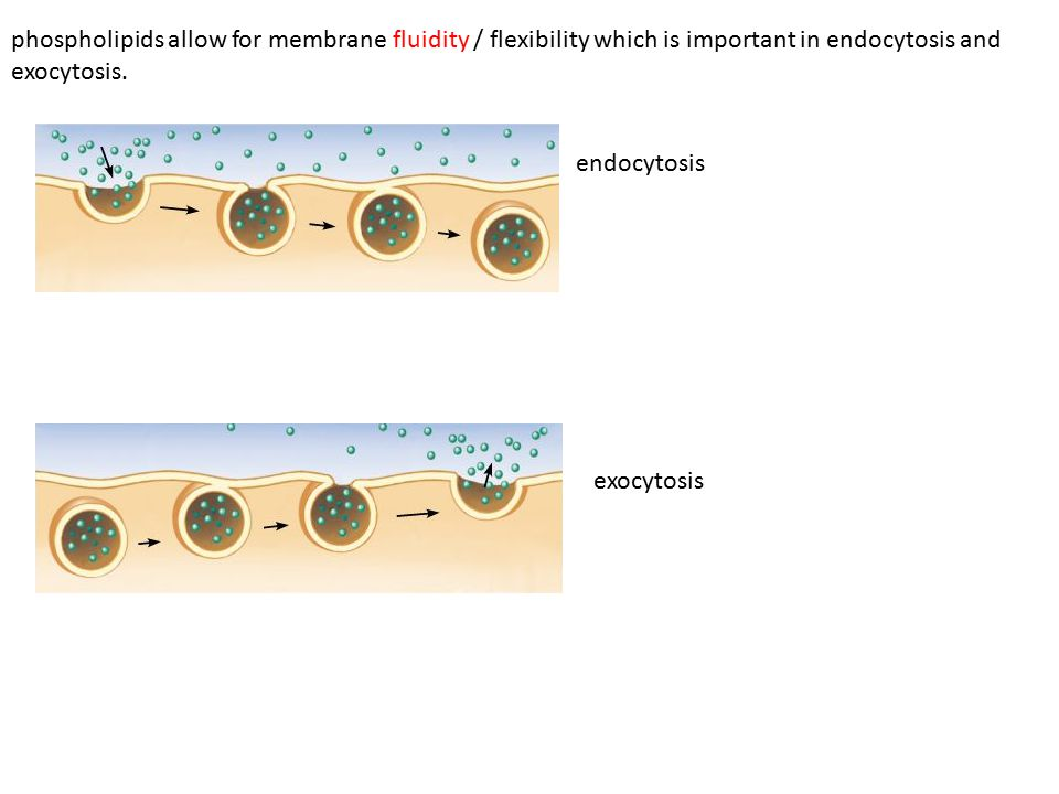 phospholipids allow for membrane fluidity / flexibility which is important in endocytosis and exocytosis. endocytosis exocytosis