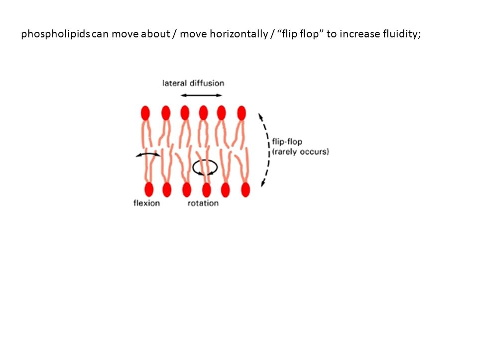phospholipids can move about / move horizontally / flip flop to increase fluidity;